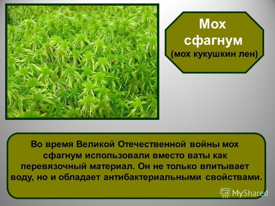 Мох сфагнум (мох кукушкин лен) Во время Великой Отечественной войны мох сфагнум использовали вместо ваты как перевязочный материал. Он не только впитывает воду, но и обладает антибактериальными свойствами.