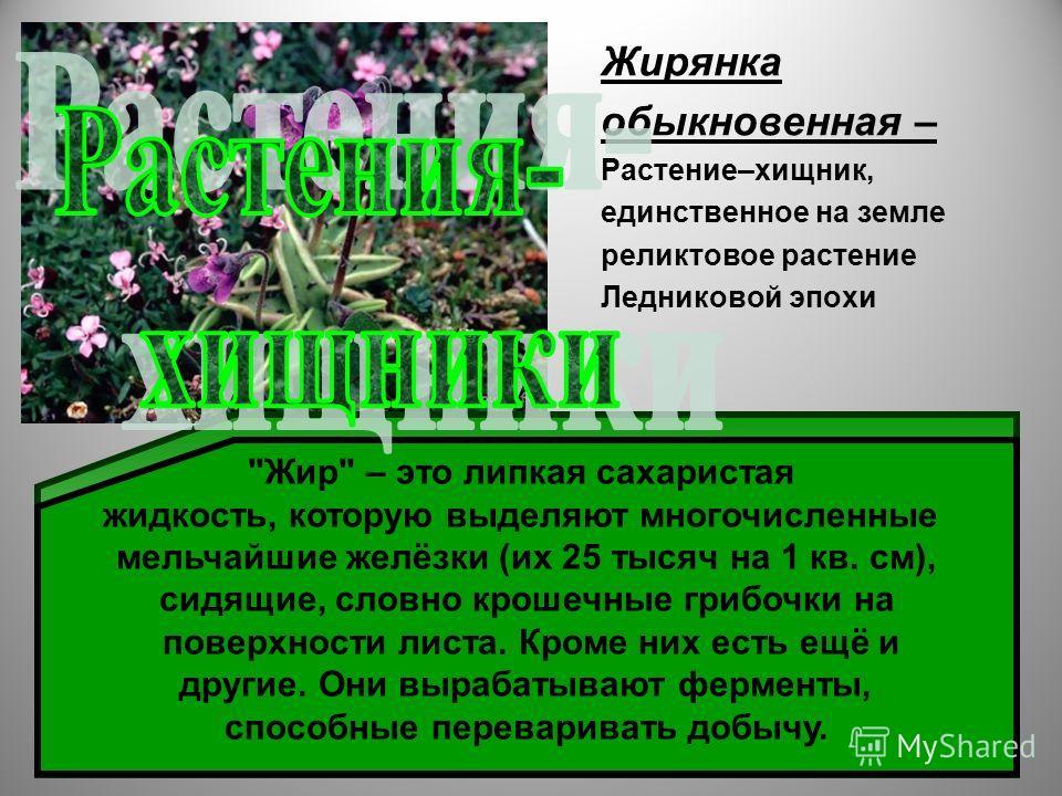 Жирянка обыкновенная – Растение–хищник, единственное на земле реликтовое растение Ледниковой эпохи Растёт она единичными экземплярами на торфяных болотах. Своё название (от слова