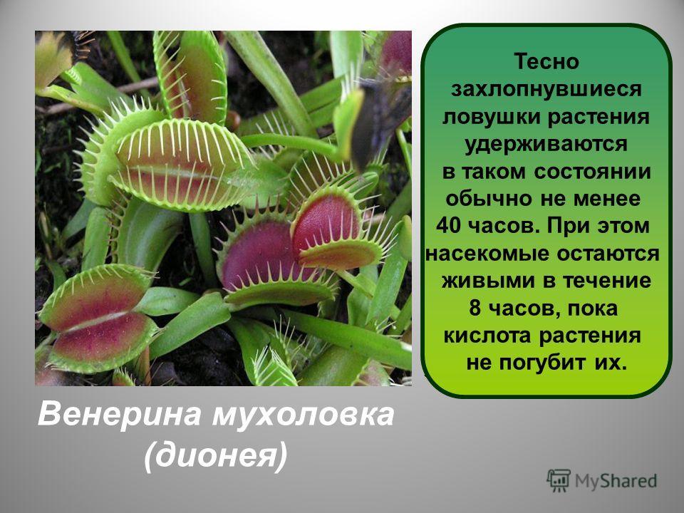 Венерина мухоловка (дионея) Дионея - одно из самых интересных насекомоядных растений. Листья – ловушки быстро захлопываются, когда в них попадает насекомое. На внутренней стороне ловушки находятся несколько волосков, задев которые срабатывает