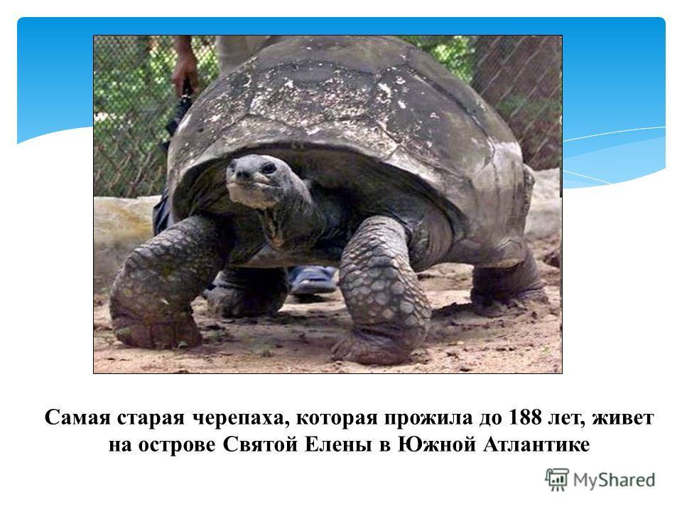 Самая старая черепаха, которая прожила до 188 лет, живет на острове Святой Елены в Южной Атлантике