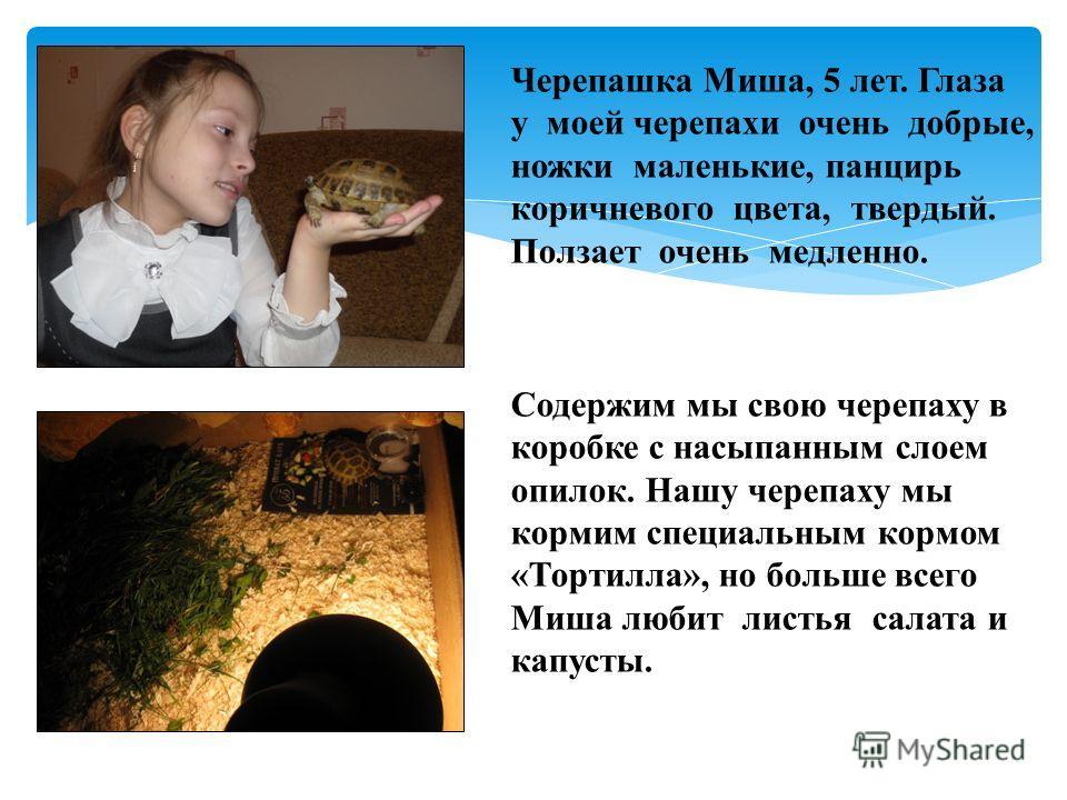 Черепашка Миша, 5 лет. Глаза у моей черепахи очень добрые, ножки маленькие, панцирь коричневого цвета, твердый. Ползает очень медленно. Содержим мы свою черепаху в коробке с насыпанным слоем опилок. Нашу черепаху мы кормим специальным кормом «Тортилл