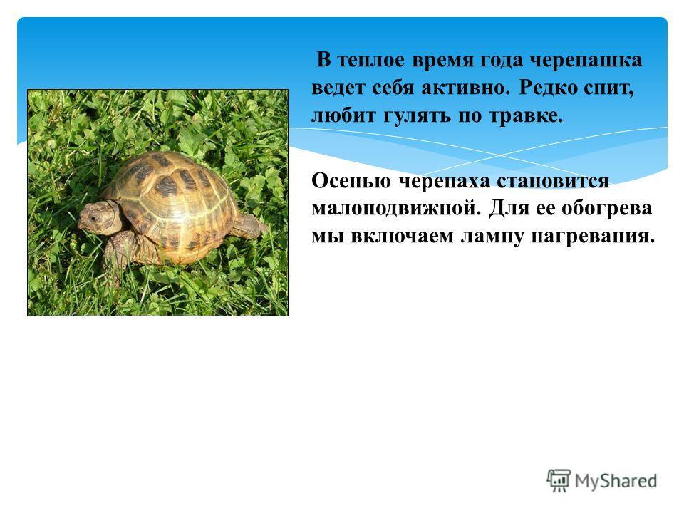 В теплое время года черепашка ведет себя активно. Редко спит, любит гулять по травке. Осенью черепаха становится малоподвижной. Для ее обогрева мы включаем лампу нагревания.