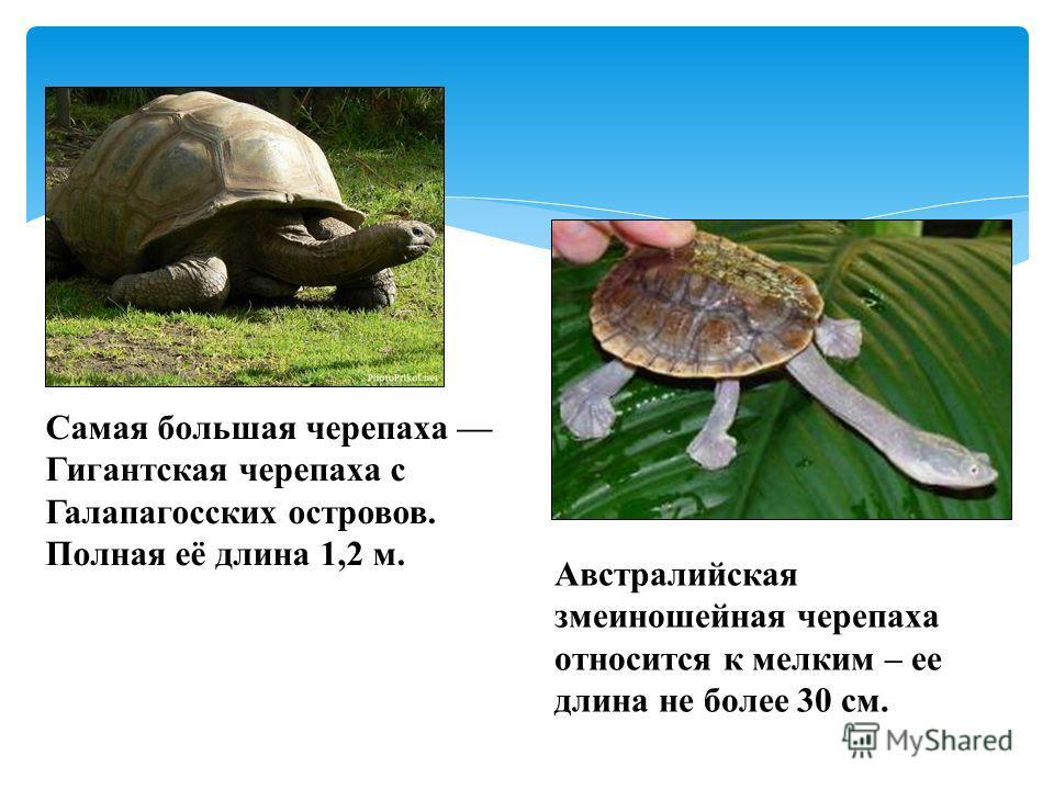 Самая большая черепаха Гигантская черепаха с Галапагосских островов. Полная её длина 1,2 м. Австралийская змеиношейная черепаха относится к мелким – ее длина не более 30 см.