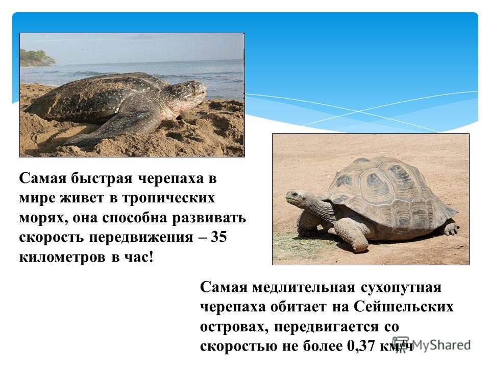 Самая быстрая черепаха в мире живет в тропических морях, она способна развивать скорость передвижения – 35 километров в час! Самая медлительная сухопутная черепаха обитает на Сейшельских островах, передвигается со скоростью не более 0,37 км/ч