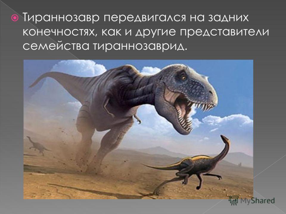 Тираннозавр передвигался на задних конечностях, как и другие представители семейства тираннозаврид.