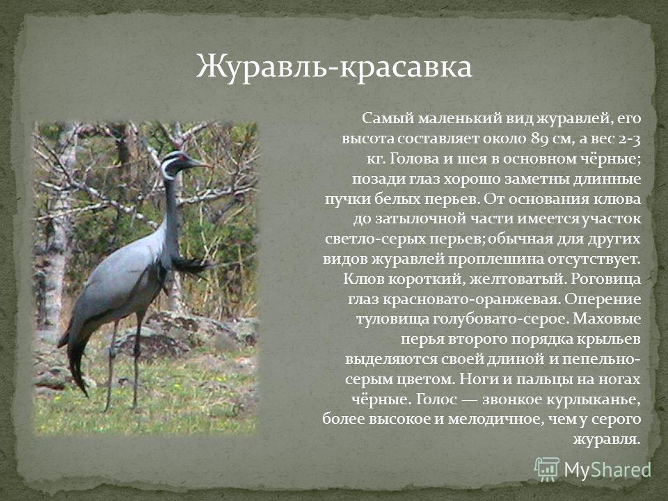 Журавль-красавка Самый маленький вид журавлей, его высота составляет около 89 см, а вес 2-3 кг. Голова и шея в основном чёрные; позади глаз хорошо заметны длинные пучки белых перьев. От основания клюва до затылочной части имеется участок светло-серых