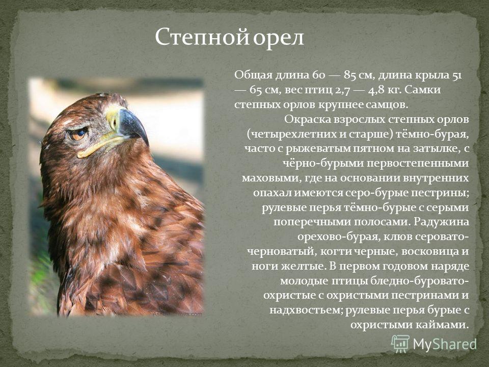 Степной орел Общая длина 60 85 см, длина крыла 51 65 см, вес птиц 2,7 4,8 кг. Самки степных орлов крупнее самцов. Окраска взрослых степных орлов (четырехлетних и старше) тёмно-бурая, часто с рыжеватым пятном на затылке, с чёрно-бурыми первостепенными