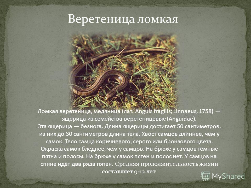 Веретеница ломкая Ломкая веретеница, медяница (лат. Anguis fragilis; Linnaeus, 1758) ящерица из семейства веретеницевые (Anguidae). Эта ящерица безнога. Длина ящерицы достигает 50 сантиметров, из них до 30 сантиметров длина тела. Хвост самцов длиннее
