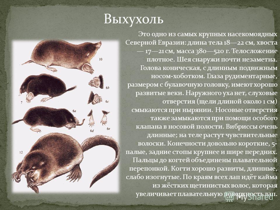 Выхухоль Это одно из самых крупных насекомоядных Северной Евразии: длина тела 1822 см, хвоста 1721 см, масса 380520 г. Телосложение плотное. Шея снаружи почти незаметна. Голова коническая, с длинным подвижным носом-хоботком. Глаза рудиментарные, разм