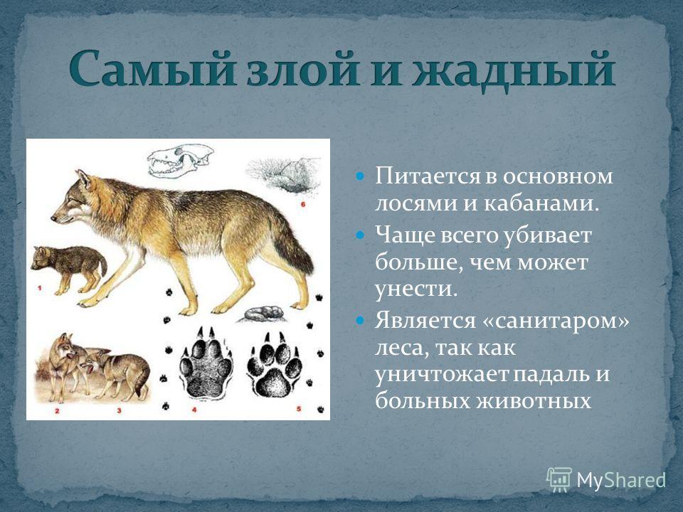 Питается в основном лосями и кабанами. Чаще всего убивает больше, чем может унести. Является «санитаром» леса, так как уничтожает падаль и больных животных