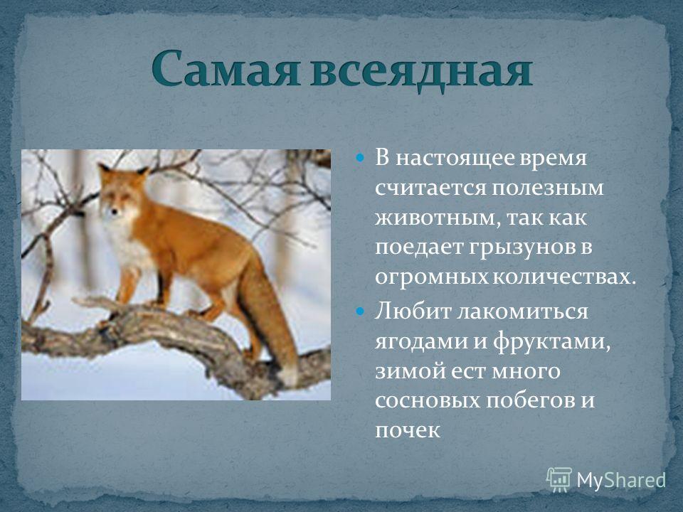 В настоящее время считается полезным животным, так как поедает грызунов в огромных количествах. Любит лакомиться ягодами и фруктами, зимой ест много сосновых побегов и почек