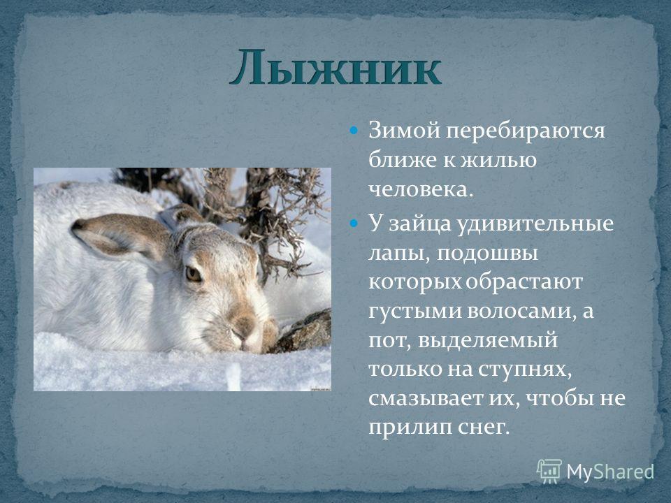 Зимой перебираются ближе к жилью человека. У зайца удивительные лапы, подошвы которых обрастают густыми волосами, а пот, выделяемый только на ступнях, смазывает их, чтобы не прилип снег.