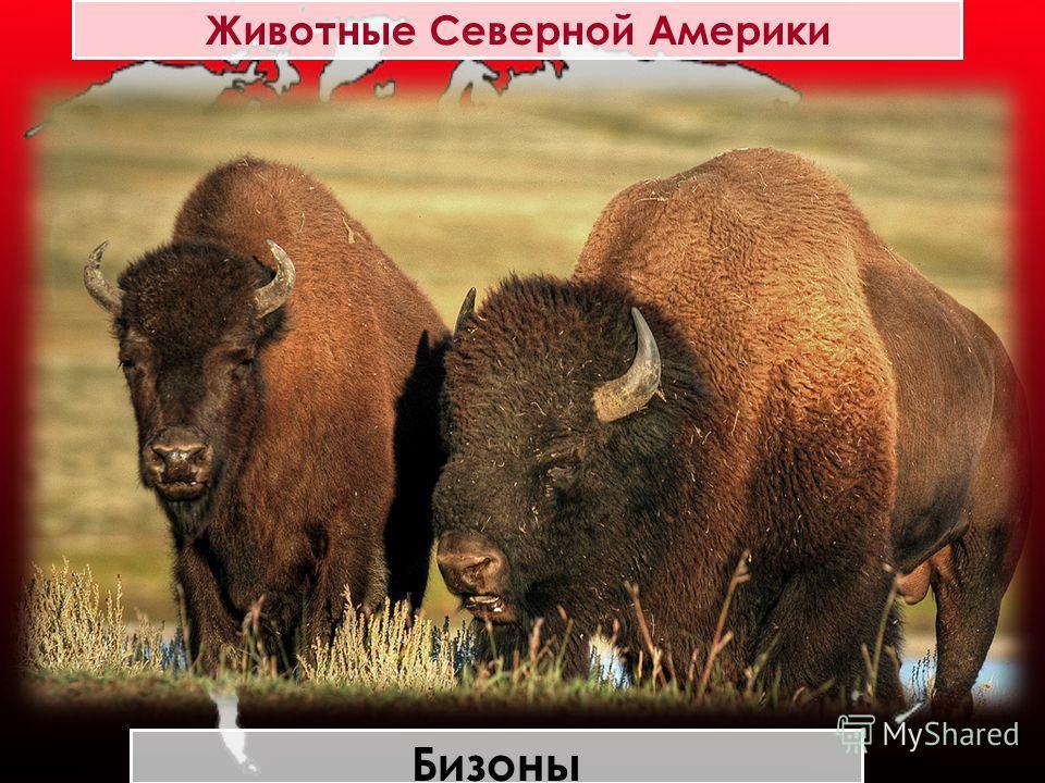 Животные Северной Америки Бизоны