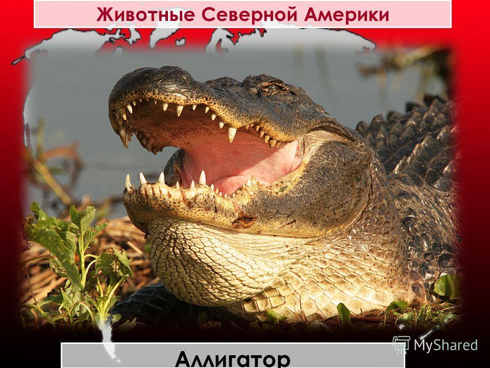 Животные Северной Америки Аллигатор