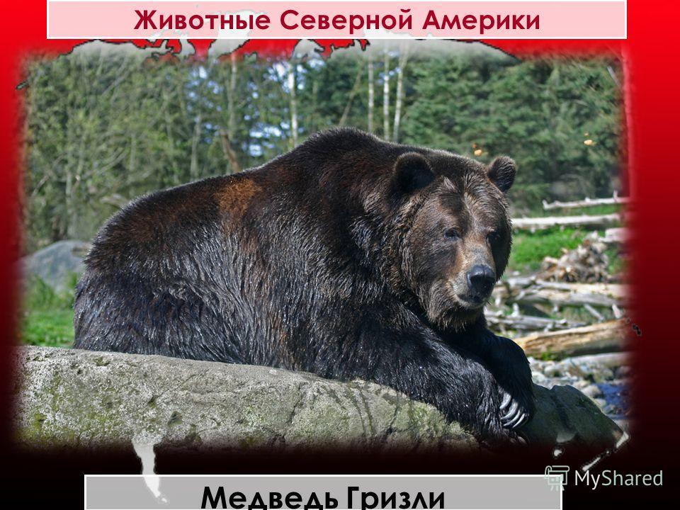 Животные Северной Америки Медведь Гризли