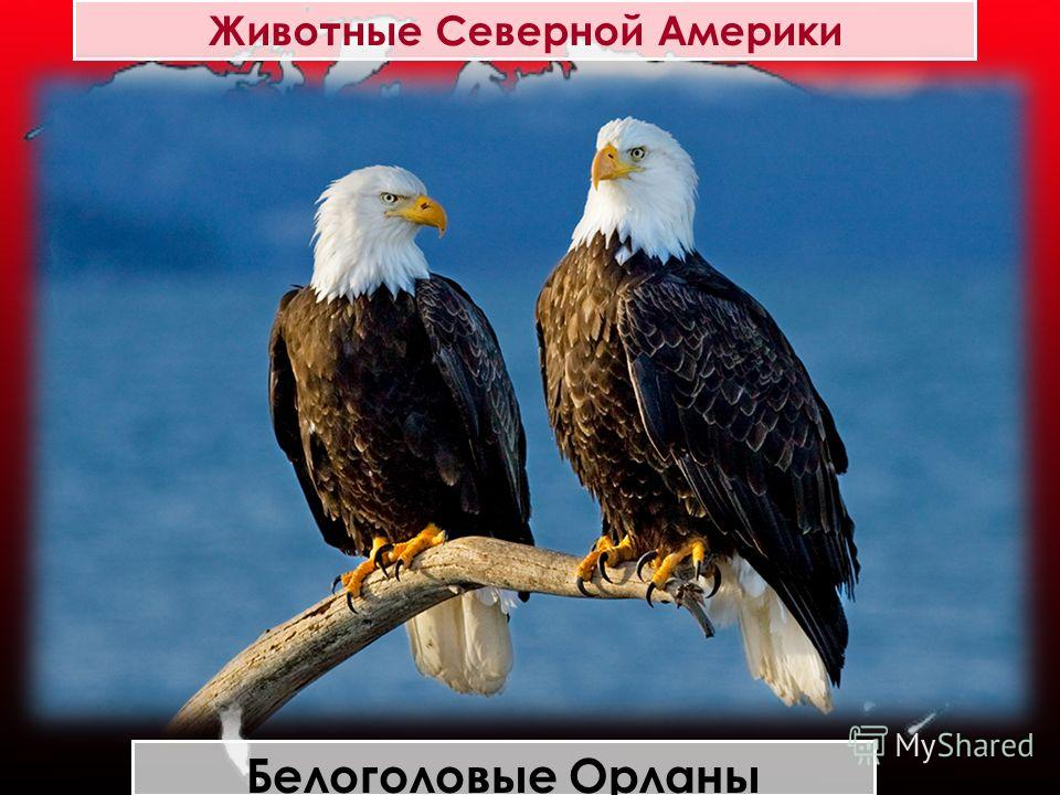 Животные Северной Америки Белоголовые Орланы