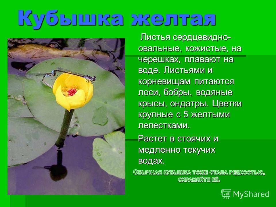 Кубышка желтая Листья сердцевидно- овальные, кожистые, на черешках, плавают на воде. Листьями и корневищам питаются лоси, бобры, водяные крысы, ондатры. Цветки крупные с 5 желтыми лепестками. Листья сердцевидно- овальные, кожистые, на черешках, плава