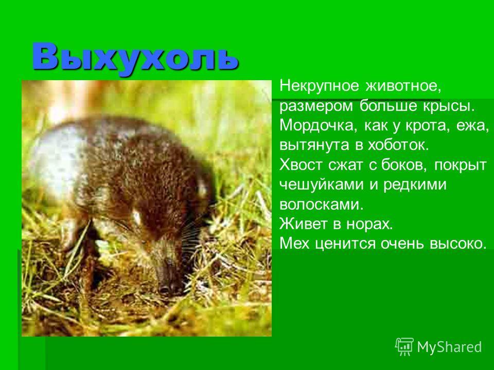 Выхухоль Некрупное животное, размером больше крысы. Мордочка, как у крота, ежа, вытянута в хоботок. Хвост сжат с боков, покрыт чешуйками и редкими волосками. Живет в норах. Мех ценится очень высоко.