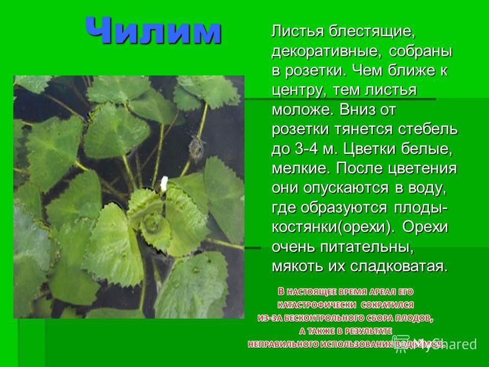 Чилим Чилим Листья блестящие, декоративные, собраны в розетки. Чем ближе к центру, тем листья моложе. Вниз от розетки тянется стебель до 3-4 м. Цветки белые, мелкие. После цветения они опускаются в воду, где образуются плоды- костянки(орехи). Орехи о