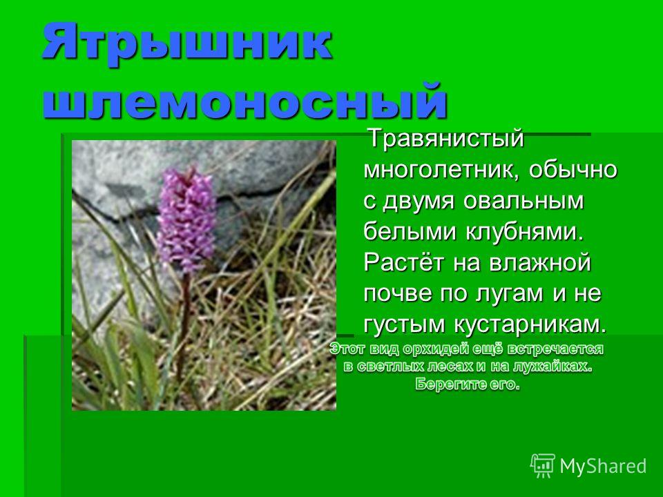 Ятрышник шлемоносный Травянистый многолетник, обычно с двумя овальным белыми клубнями. Растёт на влажной почве по лугам и не густым кустарникам. Травянистый многолетник, обычно с двумя овальным белыми клубнями. Растёт на влажной почве по лугам и не г