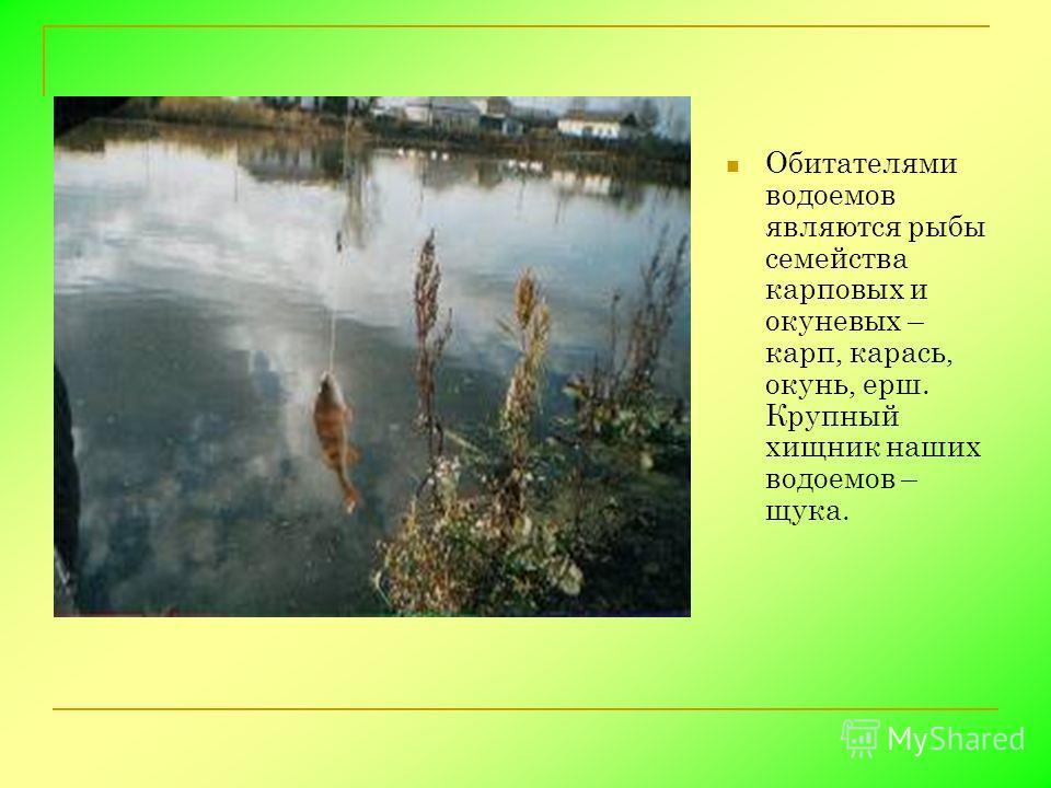 Обитателями водоемов являются рыбы семейства карповых и окуневых – карп, карась, окунь, ерш. Крупный хищник наших водоемов – щука.