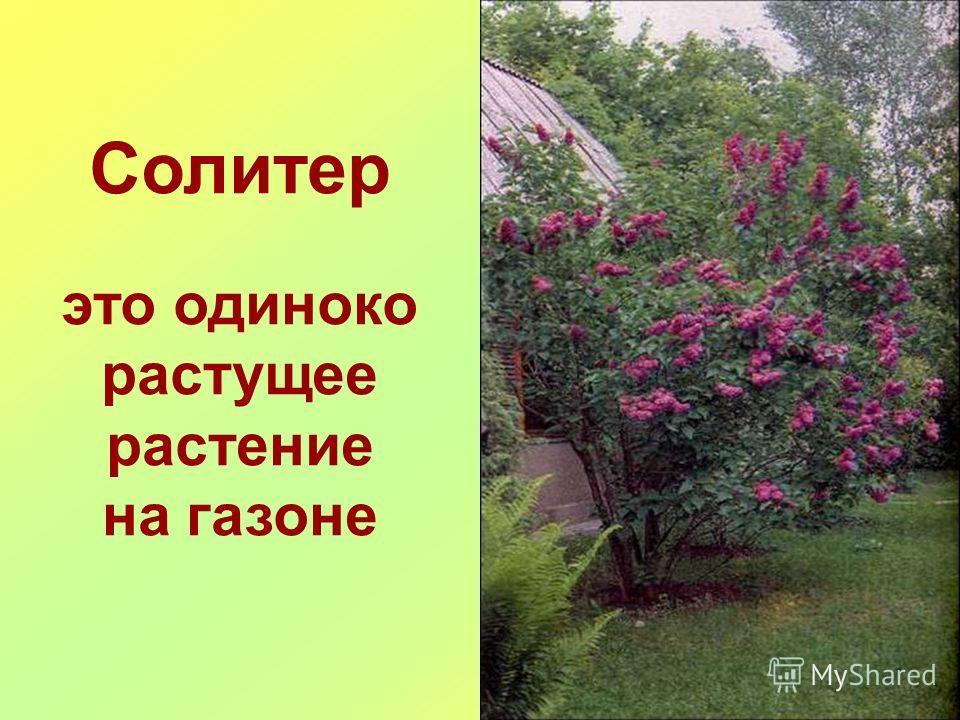 Солитер это одиноко растущее растение на газоне