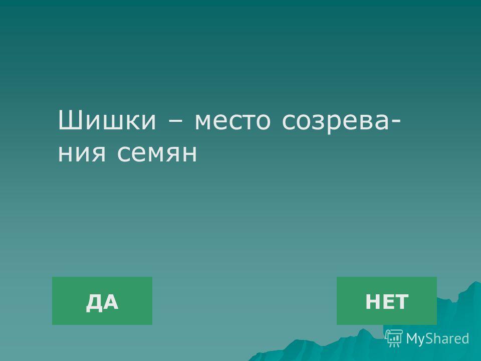 ДАНЕТ Шишки – место созрева- ния семян