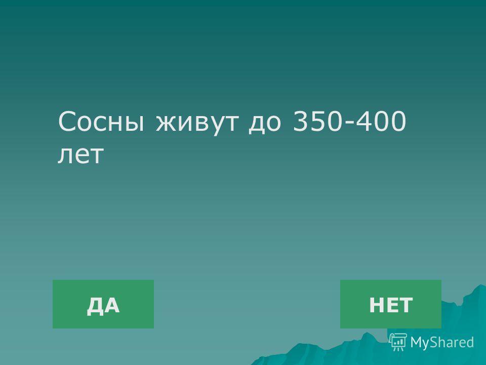 ДАНЕТ Сосны живут до 350-400 лет