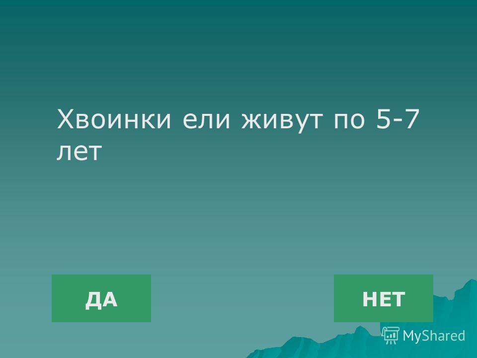 ДАНЕТ Хвоинки ели живут по 5-7 лет