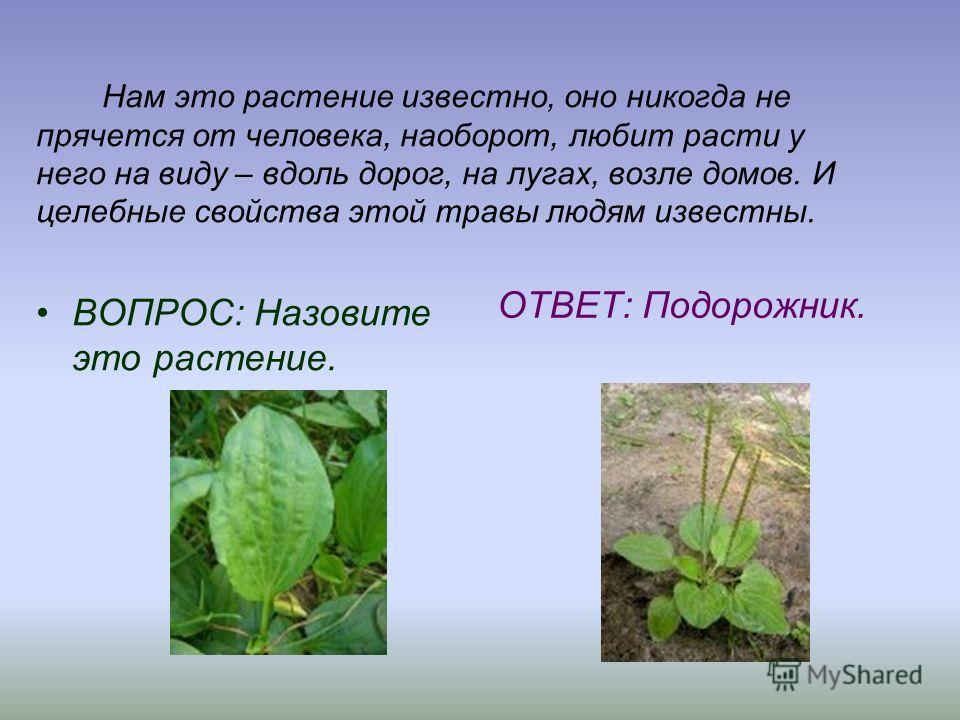 Нам это растение известно, оно никогда не прячется от человека, наоборот, любит расти у него на виду – вдоль дорог, на лугах, возле домов. И целебные свойства этой травы людям известны. ВОПРОС: Назовите это растение. ОТВЕТ: Подорожник.
