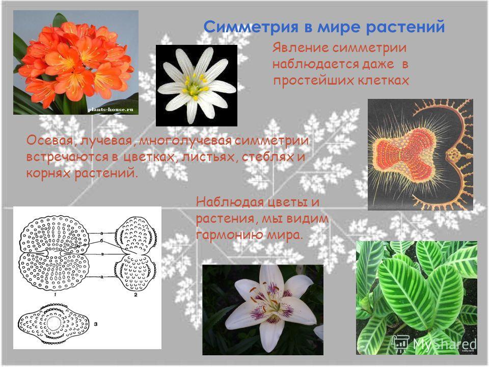 Симметрия в мире растений Явление симметрии наблюдается даже в простейших клетках Осевая, лучевая, многолучевая симметрии встречаются в цветках, листьях, стеблях и корнях растений. Наблюдая цветы и растения, мы видим гармонию мира.