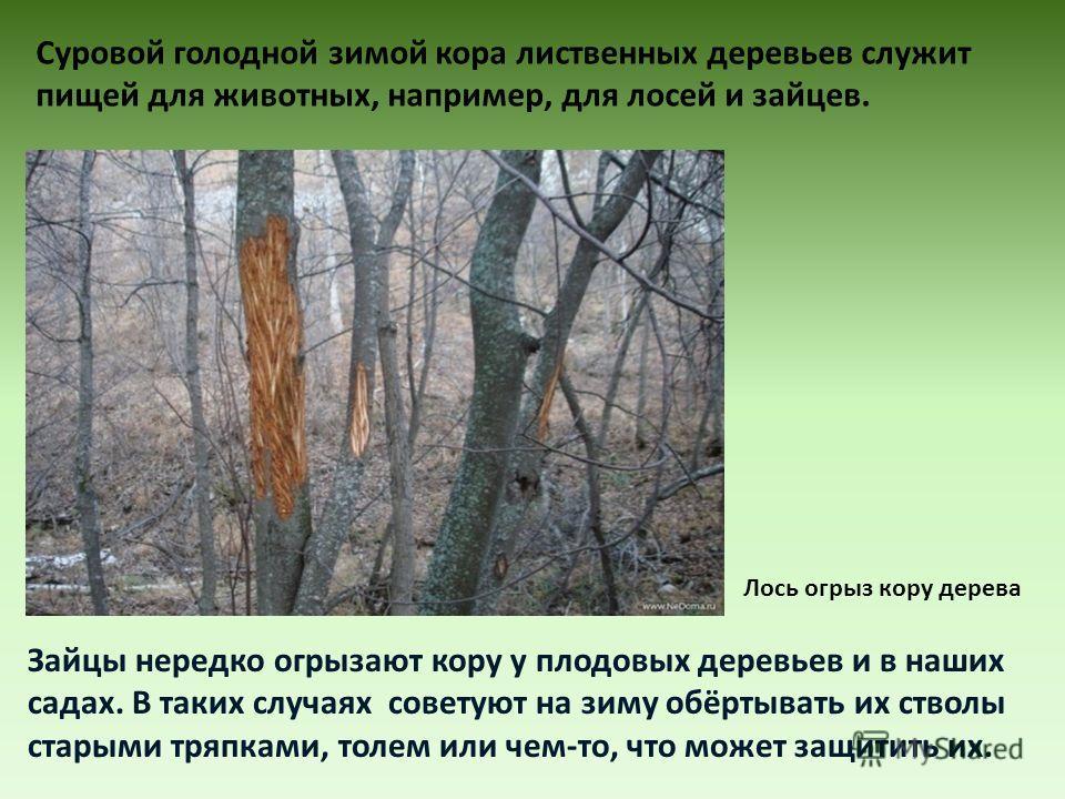 Суровой голодной зимой кора лиственных деревьев служит пищей для животных, например, для лосей и зайцев. Зайцы нередко огрызают кору у плодовых деревьев и в наших садах. В таких случаях советуют на зиму обёртывать их стволы старыми тряпками, толем ил