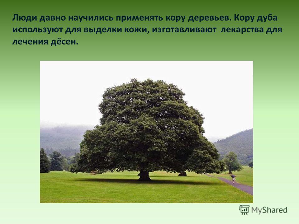Люди давно научились применять кору деревьев. Кору дуба используют для выделки кожи, изготавливают лекарства для лечения дёсен.