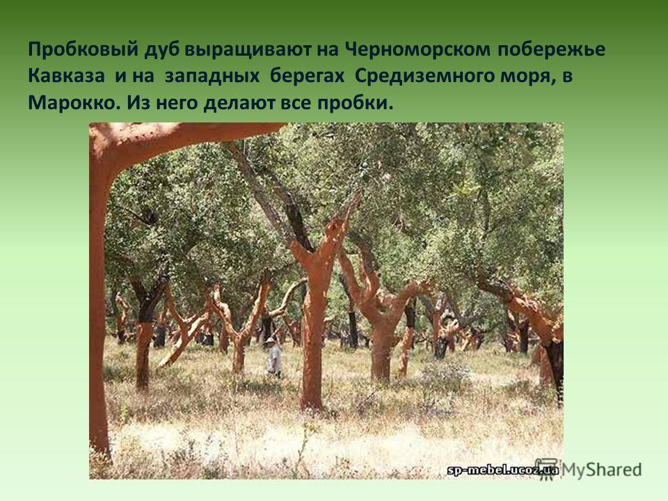 Пробковый дуб выращивают на Черноморском побережье Кавказа и на западных берегах Средиземного моря, в Марокко. Из него делают все пробки.