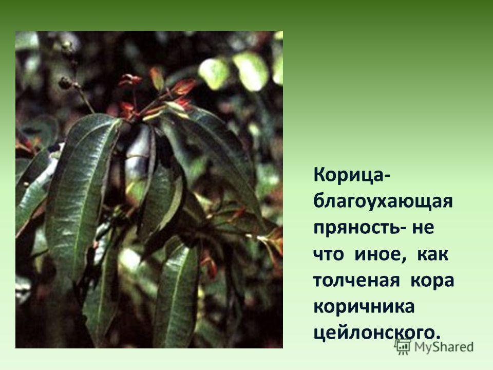 Корица- благоухающая пряность- не что иное, как толченая кора коричника цейлонского.