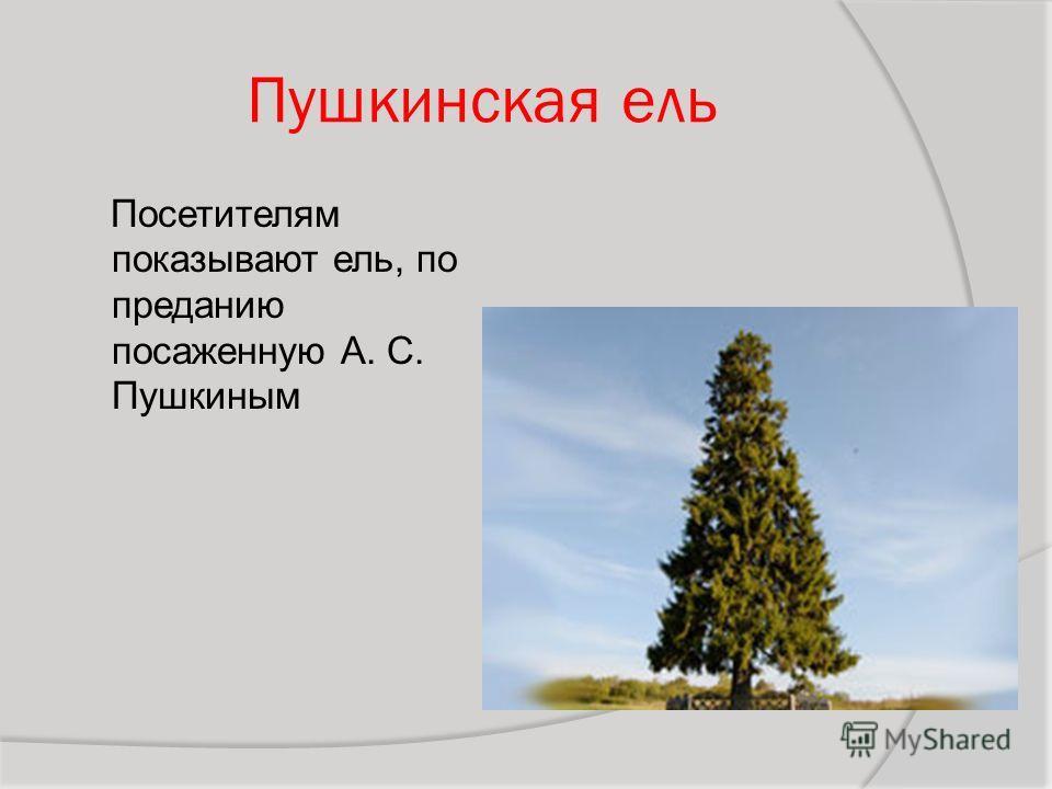 Пушкинская ель Посетителям показывают ель, по преданию посаженную А. С. Пушкиным