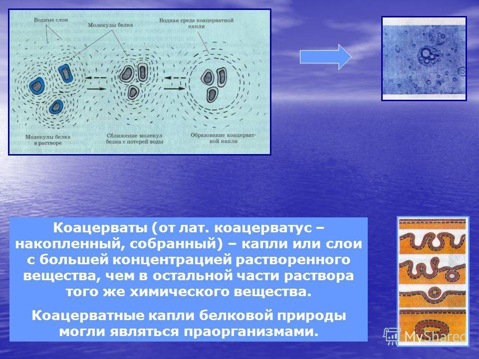 Коацерваты (от лат. коацерватус – накопленный, собранный) – капли или слои с большей концентрацией растворенного вещества, чем в остальной части раствора того же химического вещества. Коацерватные капли белковой природы могли являться праорганизмами.