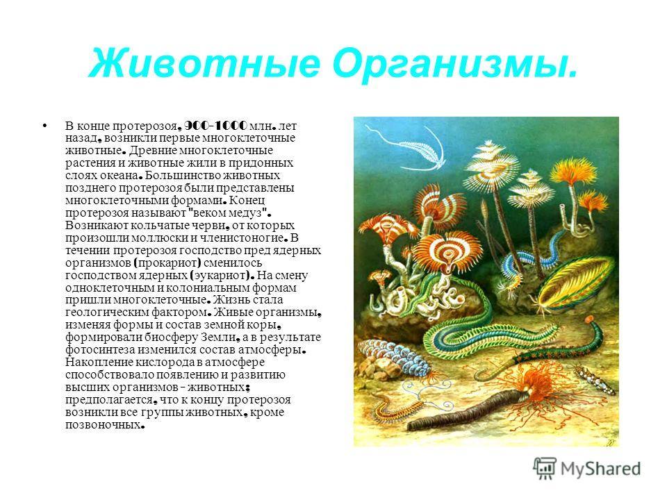 Животные Организмы. В конце протерозоя, 900-1000 млн. лет назад, возникли первые многоклеточные животные. Древние многоклеточные растения и животные жили в придонных слоях океана. Большинство животных позднего протерозоя были представлены многоклеточ