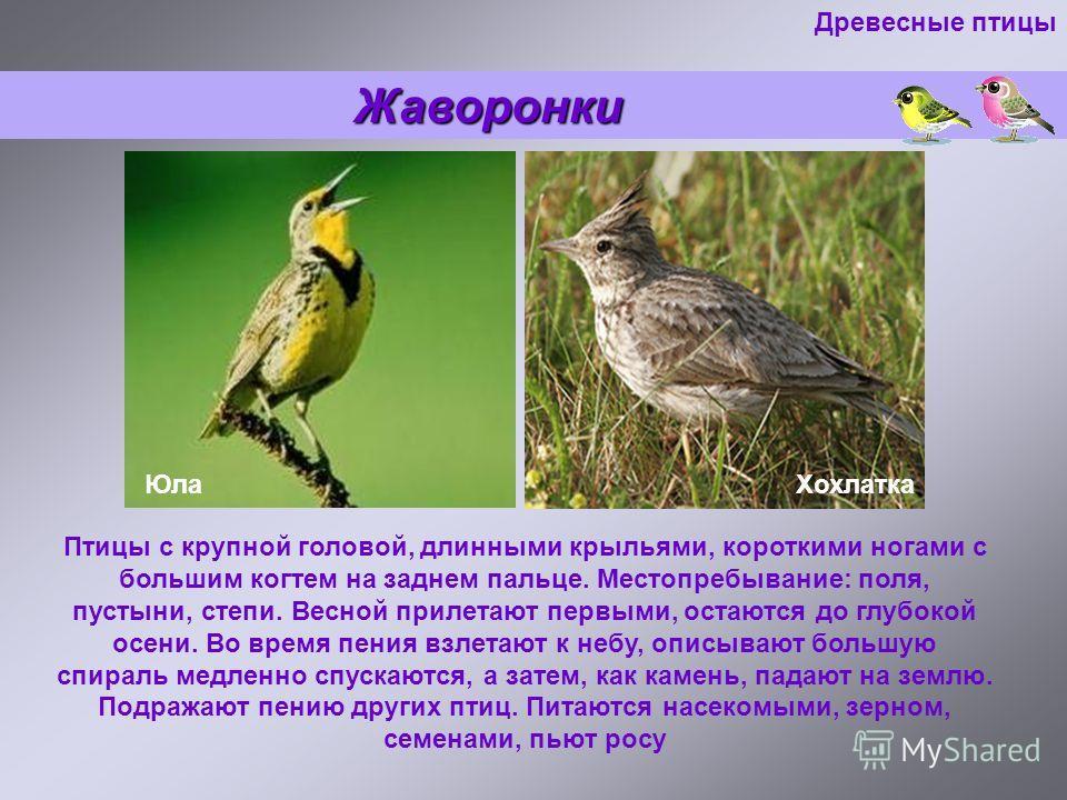 Жаворонки Жаворонки Птицы с крупной головой, длинными крыльями, короткими ногами с большим когтем на заднем пальце. Местопребывание: поля, пустыни, степи. Весной прилетают первыми, остаются до глубокой осени. Во время пения взлетают к небу, описывают