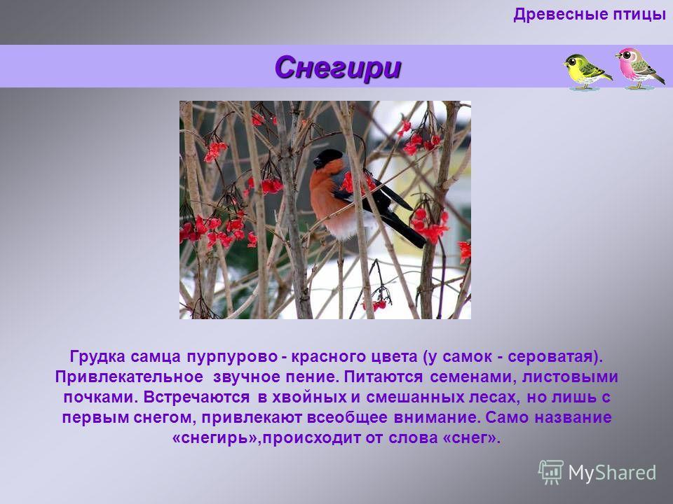 Снегири Грудка самца пурпурово - красного цвета (у самок - сероватая). Привлекательное звучное пение. Питаются семенами, листовыми почками. Встречаются в хвойных и смешанных лесах, но лишь с первым снегом, привлекают всеобщее внимание. Само название
