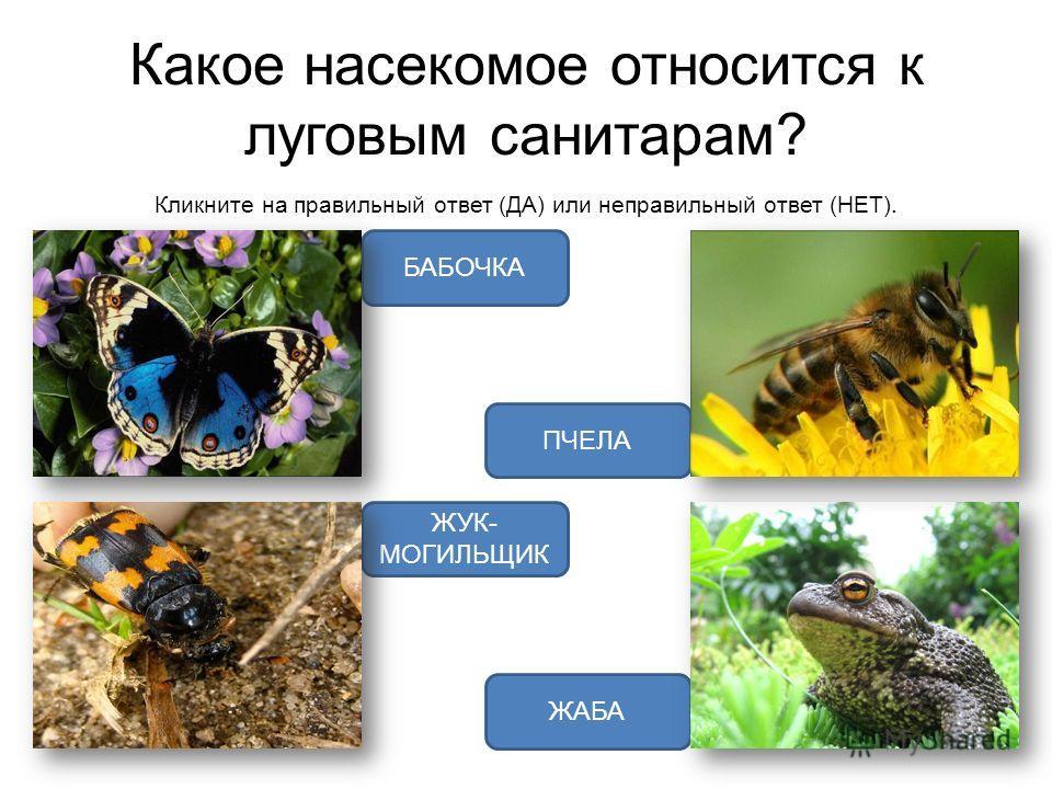Какое насекомое относится к луговым санитарам? Кликните на правильный ответ (ДА) или неправильный ответ (НЕТ). ЖУК- МОГИЛЬЩИК БАБОЧКА ЖАБА ПЧЕЛА