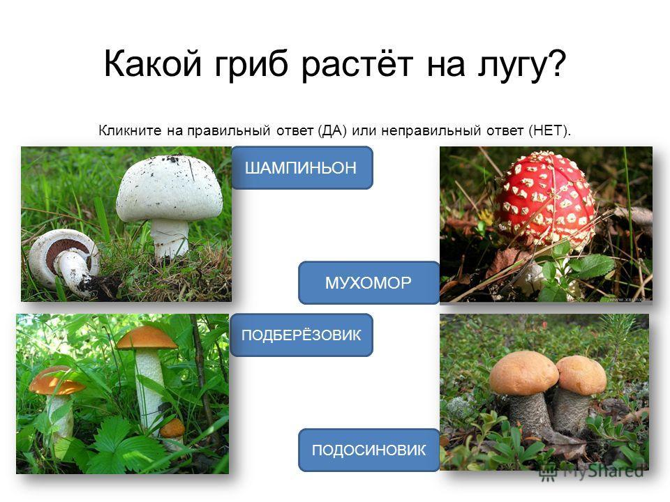 Какой гриб растёт на лугу? Кликните на правильный ответ (ДА) или неправильный ответ (НЕТ). ШАМПИНЬОН ПОДОСИНОВИК МУХОМОР ПОДБЕРЁЗОВИК