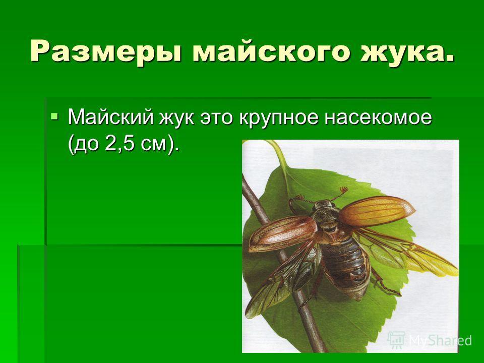 Размеры майского жука. Майский жук это крупное насекомое (до 2,5 см). Майский жук это крупное насекомое (до 2,5 см).