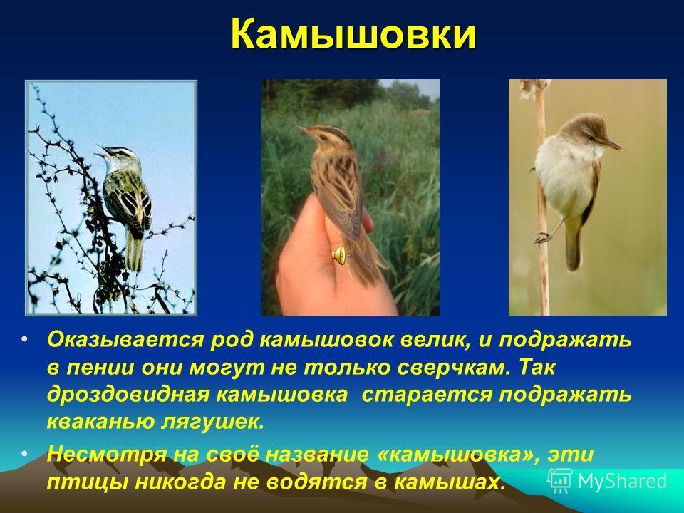 Камышовки Оказывается род камышовок велик, и подражать в пении они могут не только сверчкам. Так дроздовидная камышовка старается подражать кваканью лягушек. Несмотря на своё название «камышовка», эти птицы никогда не водятся в камышах.
