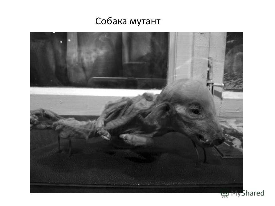 Собака мутант
