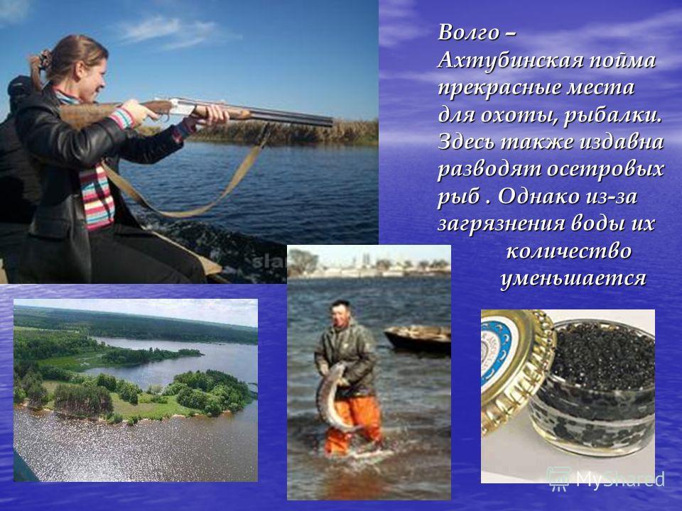 Волго – Ахтубинская пойма прекрасные места для охоты, рыбалки. Здесь также издавна разводят осетровых рыб. Однако из-за загрязнения воды их количество количество уменьшается уменьшается
