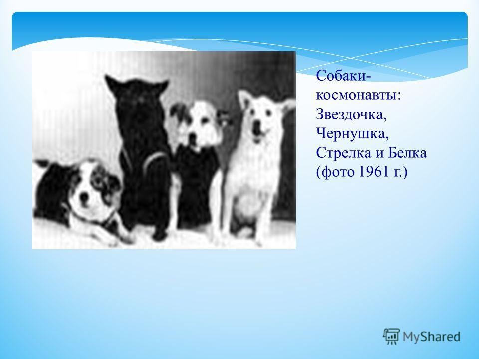 Собаки- космонавты: Звездочка, Чернушка, Стрелка и Белка (фото 1961 г.)