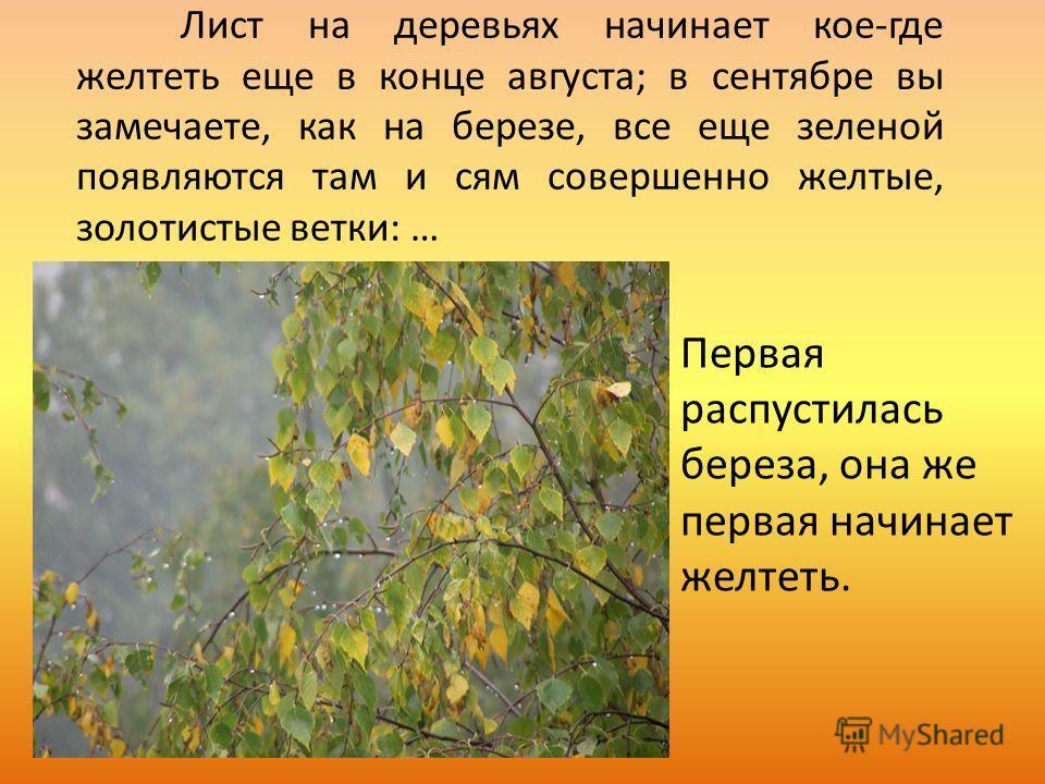Лист на деревьях начинает кое-где желтеть еще в конце августа; в сентябре вы замечаете, как на березе, все еще зеленой появляются там и сям совершенно желтые, золотистые ветки: … Первая распустилась береза, она же первая начинает желтеть.