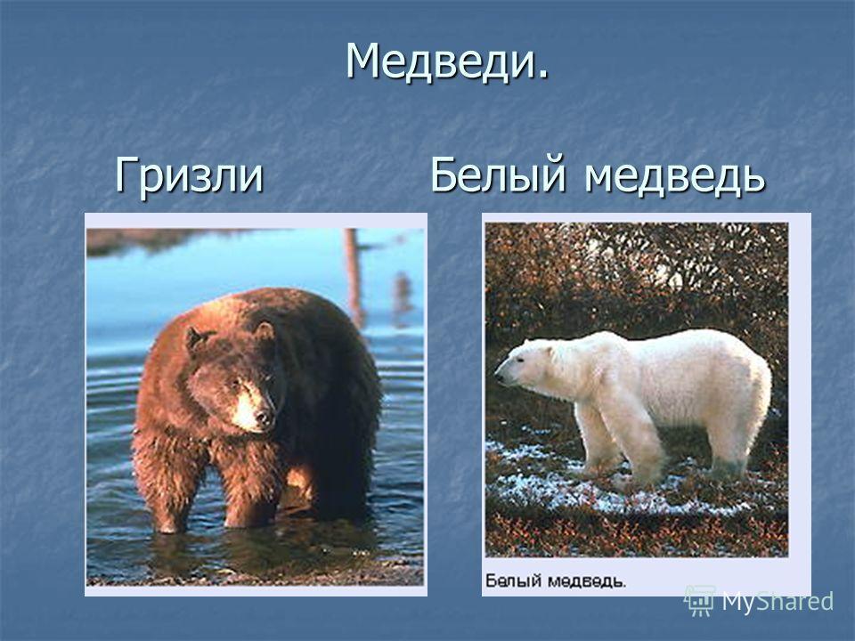 Медведи. Гризли Белый медведь Медведи. Гризли Белый медведь