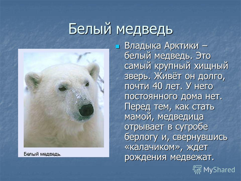 Белый медведь Владыка Арктики – белый медведь. Это самый крупный хищный зверь. Живёт он долго, почти 40 лет. У него постоянного дома нет. Перед тем, как стать мамой, медведица отрывает в сугробе берлогу и, свернувшись «калачиком», ждет рождения медве